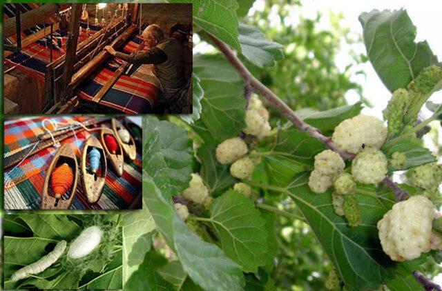 پیوست فرهنگی درخت توت با قطب نساجی سنتی ایران