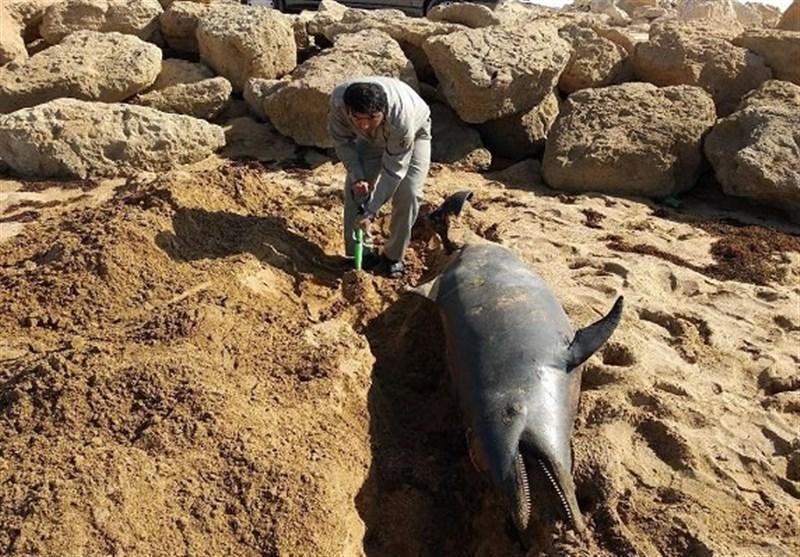 سیستان و بلوچستان، یک قطعه دلفین بینی بطری در دریای عمان تلف شد
