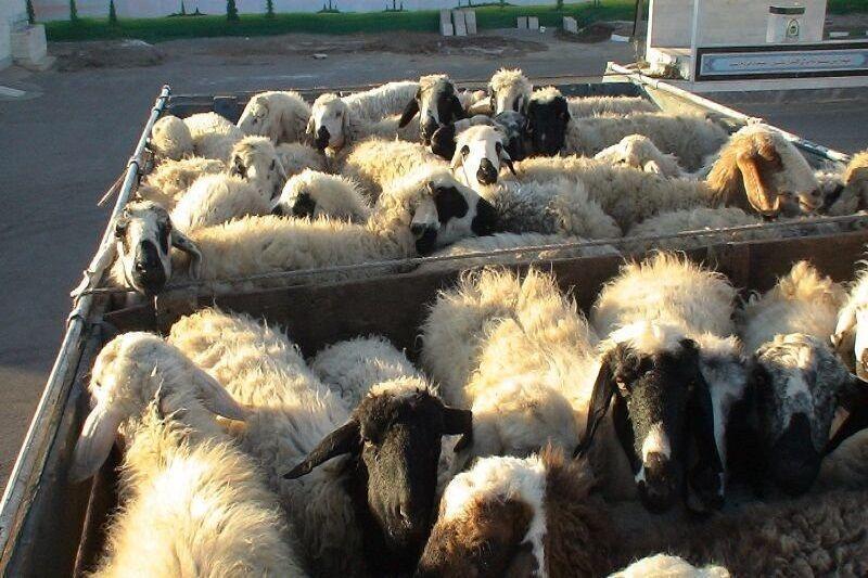 خبرنگاران 70 راس گوسفند فاقد مجوز در شهربابک کشف شد
