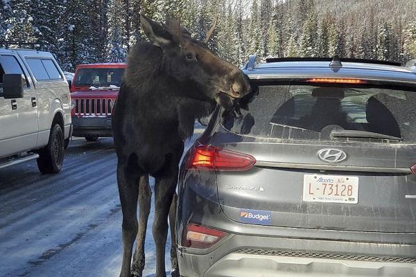 دردسر گوزن هایی که خودروها را لیس می زنند!