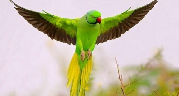 تقلید صدای انسان توسط این پرنده فوق العاده !