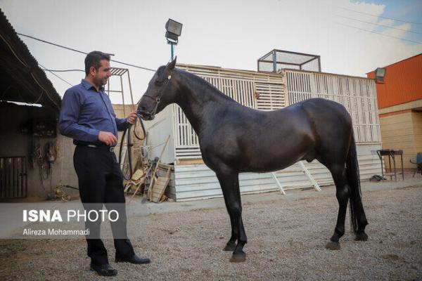 افزایش قیمت سبوس، معضل عمده اسب داران خوزستانی